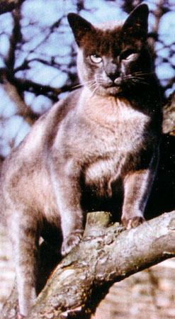 Procul Harun Cat Breed